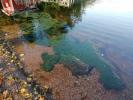 Pohjasta-irronneita-levämattoja-Vähä-Tiilijärvellä