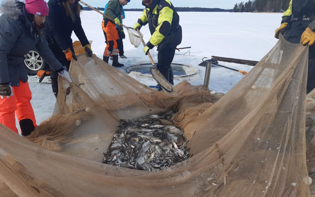 Talven hoitokalastuksella saatiin arviolta 19 tonnia kalaa